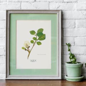 Ilustración Salix Tarraconensis